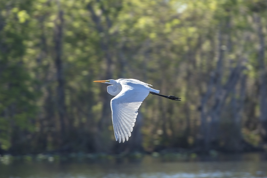 Florida - Egret Flying Near St. Johns River and Blue Spring State Park